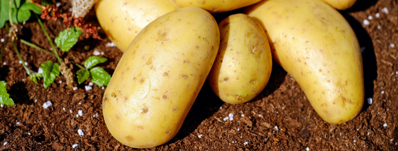 potatoes in soil - potatoes aren't poisonous and more myths about nightshade vegetables and inflammation