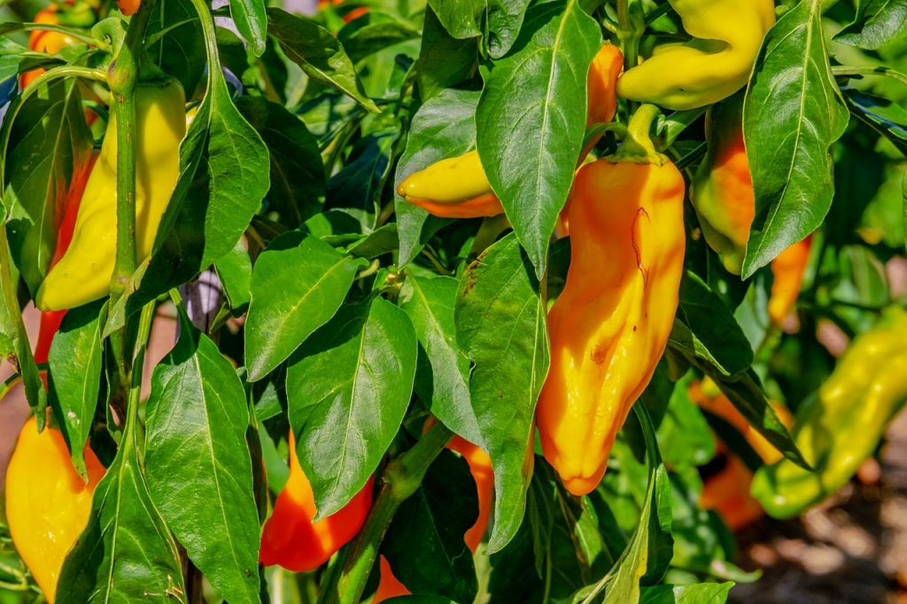 paprika growing - nightshade vegetables and inflammation